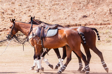 Polo Horse Ponies Saddles