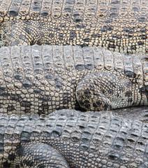 Skin of crocodile