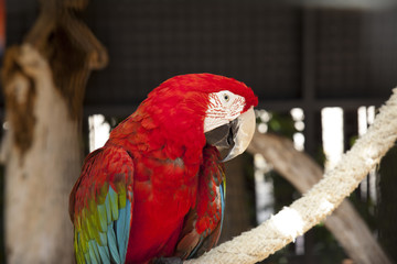 Red Scarlet Macaw Portrait