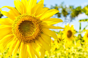 Many of the areas planted with sunflower