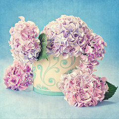still life with hydrangea flowers on a blue background