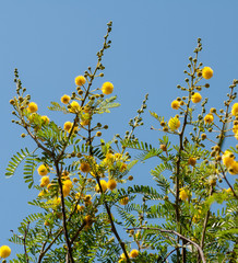Acacia blooming in Morocco