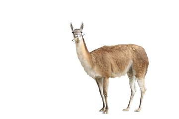 Photo sur Plexiglas Lama Portrait of brown alpaca