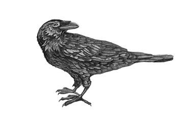 raven.birds.black.