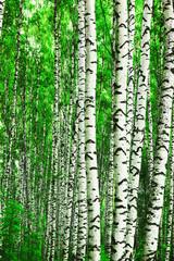 Spoed Foto op Canvas forest birch
