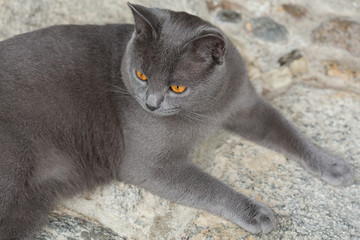 Chartreux cat, 12 months old - gatto certosino