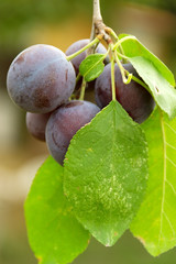plum on branch