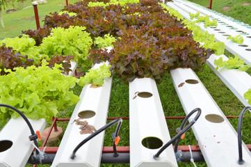 organic hydroponic vegetables