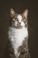 Cute young tabby cat with white chest against dark fabric backgr