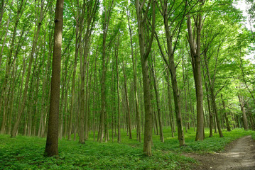 Slender trees in young forest green in summer
