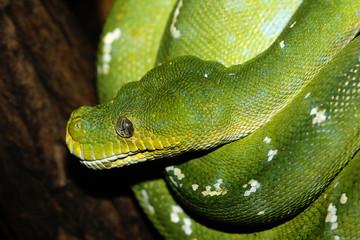 grüne Phyton