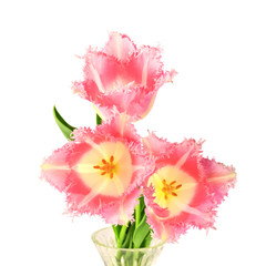 Terry tulips on white background
