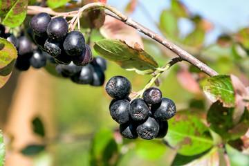 choke-berry close up. horizontal photo.