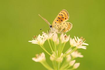 Butterfly on onion flower