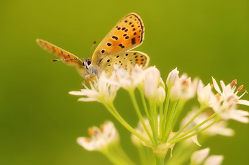 Butterfly on onion flower