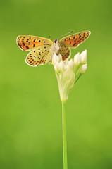 Butterfly resting on onion flower