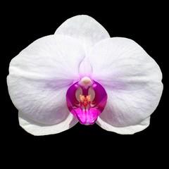Isolated Orchidea