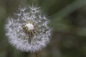 dandelion in nature