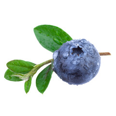 Close up of a Blueberry with water droplets and leaves