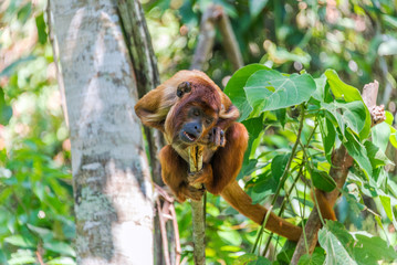 Young Red Howler Monkey