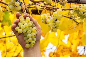 Farmer holding white grapes
