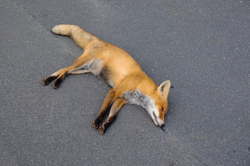 Dead red fox