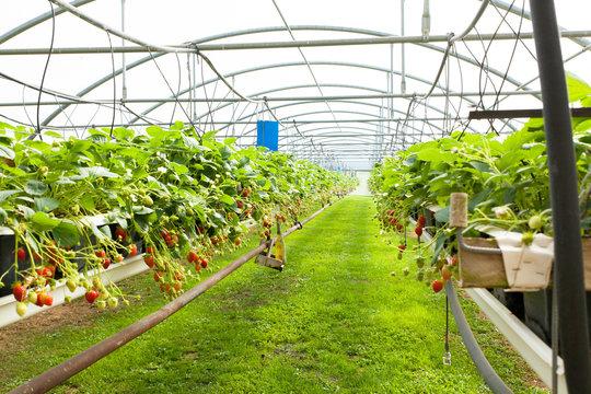 culture de fraises sous serre