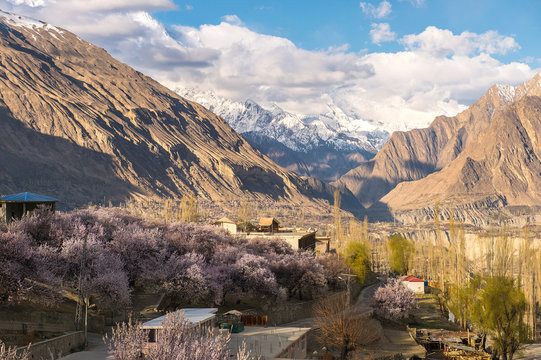Cherry blossom in Hunza Pakistan