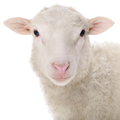 sheep isolated on white