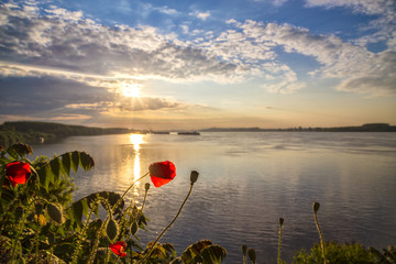 Poppies on the Danube