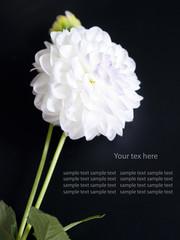 Beautiful white flower on black background