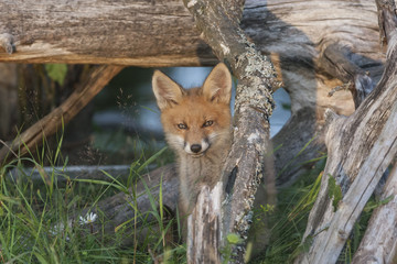 Wild fox cub watching from his hiding place