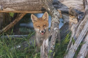 Wild fox cub shows tongue