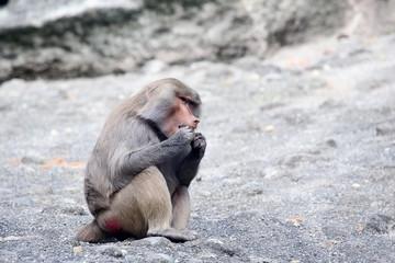 Baboon eating meal