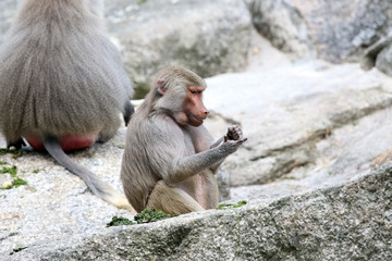Baboons eating a meal
