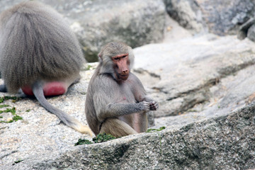 Baboons sitting on rocks and eating a meal