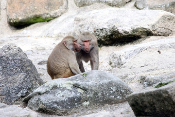 Baboons talking to each other