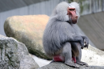 Portrait of a baboon