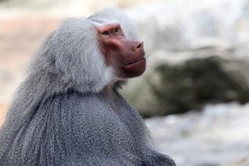 Profile portrait of a baboon