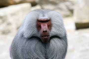 Portrait of a male baboon