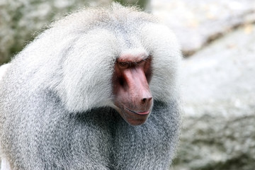 Close-up portrait of baboon looking sideways