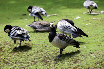 Barnacle Geese on green grass