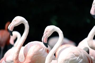 Flamingos on black background