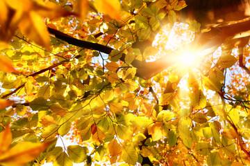 Herbstsonne strahlt durch Buchenblätter