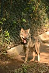 Acrylic Prints Wolf Wolf.