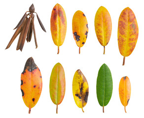 Rhododendron autumn leaf colors collection isolated