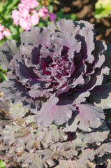 beautiful of cabbage ornamental