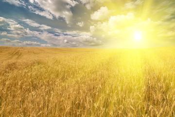 Acrylic Prints Village golden field with wheat under bright sun