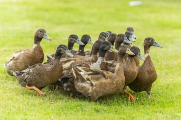 Groupe de canards d'élevage en troupeau Wall mural