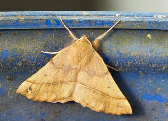 Ночная бабочка Совка